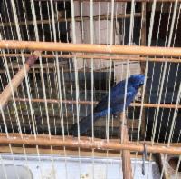 Semma apreende 21 pássaros silvestres em operação